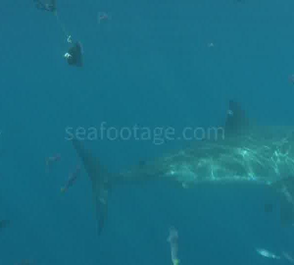 Banc_de_chinchards_sur_tete_de_poisson_requin_arrive