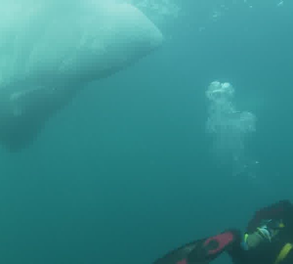 Ours_blanc_avec_plongeur.jpg