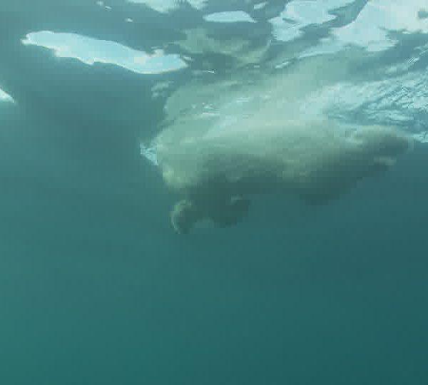 Ours_blanc_nage_et_fait_demi_tour_a_cote_d_un_iceberg.jpg