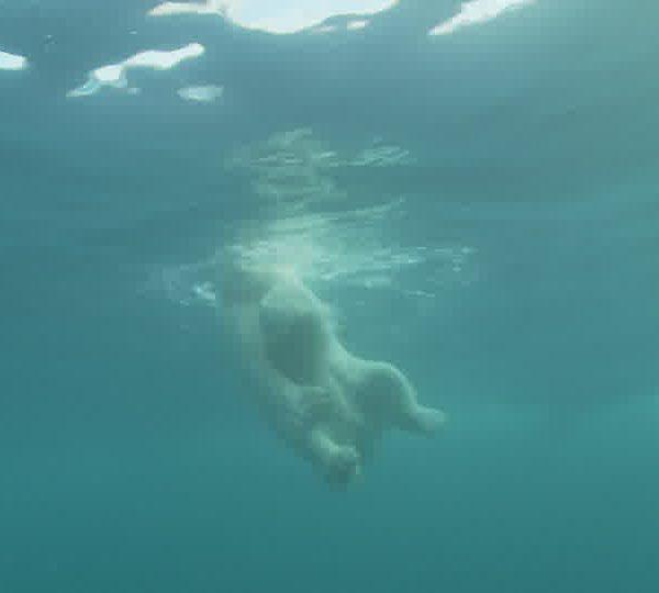 Ours_blanc_regarde_dans_l_eau.jpg