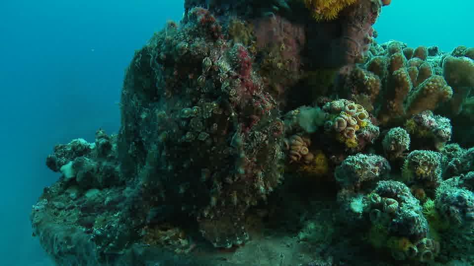 Poisson crapaud lumière de 34 MAURICE HD - Seafootage