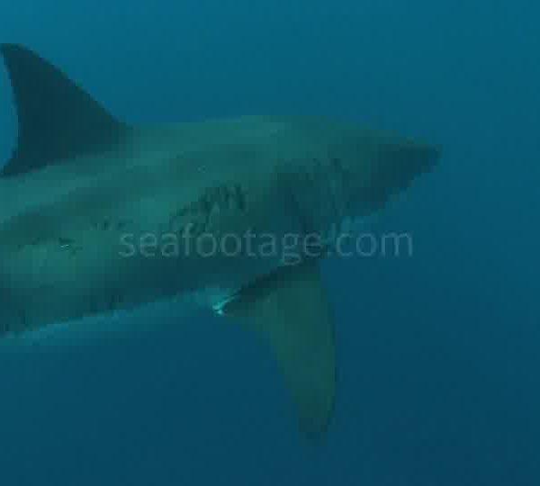 Requin_Passe_de_pres