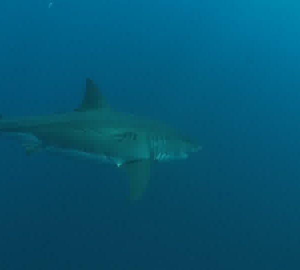 Requin_blanc_arrive_de_face_et_tourne_2.jpg