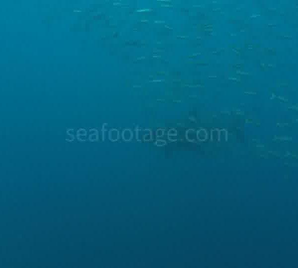 Requin_blanc_arrive_derriere_ban_de_poiscailles
