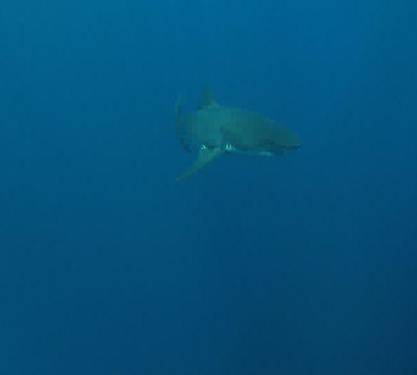 Requin_blanc_avec_plongeur_puis_avec_un_autre_Requin_blanc