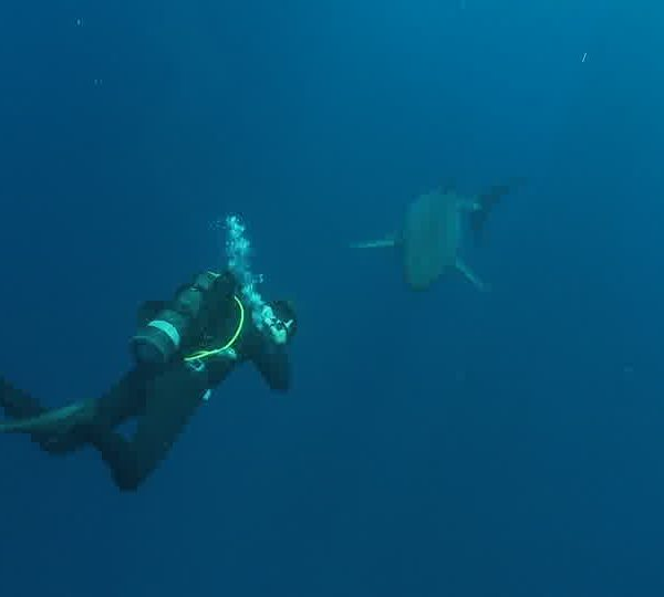 Requin_blanc_avec_plongeur_qui_saccroche_a_la_queue.jpg