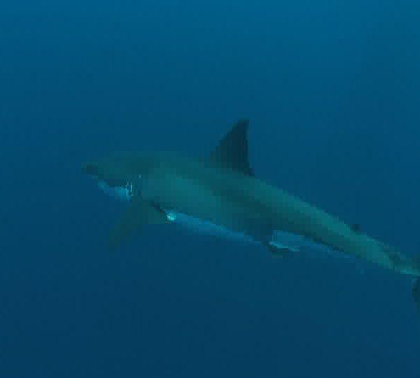 Requin_blanc_croise_un_autre