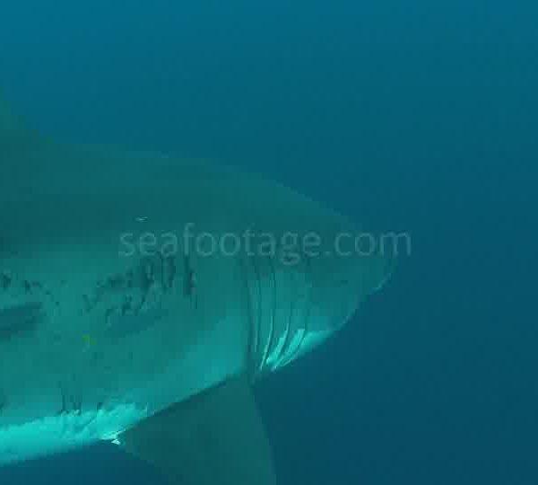 Requin_blanc_gros_plan_super_raccord