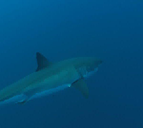 Requin_blanc_vient_assez_pres