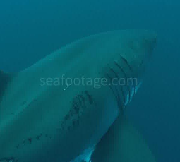Requin_blanc_vient_gros_plan