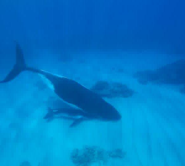 Un Ocean de Vie – La Baleine a bosse