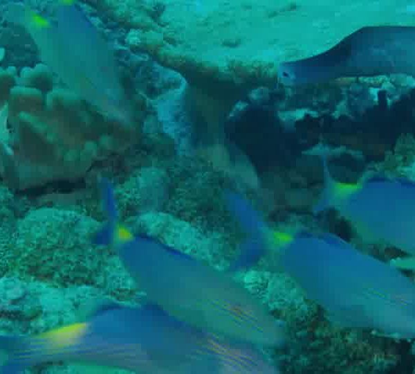 Un Ocean de Vie – Le Poisson Trompette