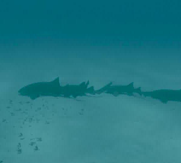 Un Ocean de Vie – Le Requin Nourrice