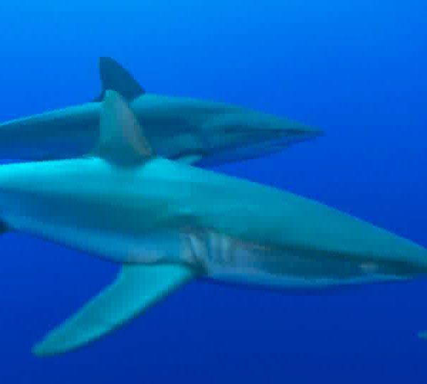 Un Ocean de Vie – Le Requin soyeu