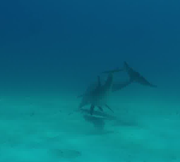 Un Ocean de Vie – Le dauphin