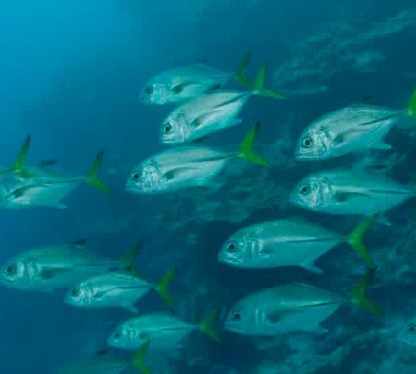 Un Ocean de Vie – Les Carangues